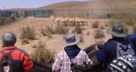 Comunidades originarias: Producen la lana más cara del mundo