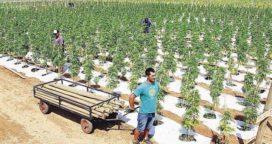 Buscan debatir la posibilidad de cultivar cannabis en Chacabuco