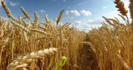 Trigo: Se espera una cosecha récord