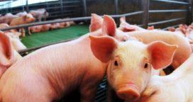 Por la situación económica el 60% de los productores porcinos cambió de sector