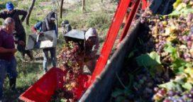 Presentan prototipo para la cosecha de los viñedos