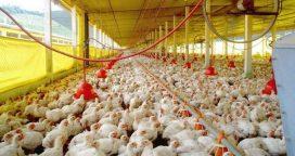 Exportaciones a China:  Fueron habilitadas siete plantas avícolas